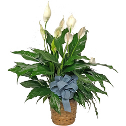 Peace Lily Plants from your local Clinton,TN florist, Knight's Flowers