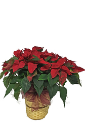 Small Poinsettia Plant from your local Clinton,TN florist, Knight's Flowers