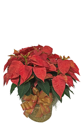 Poinsettia Plant  from your local Clinton,TN florist, Knight's Flowers