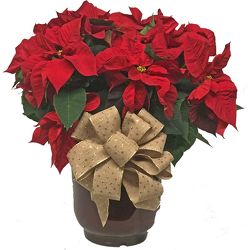 Huge Red Poinsettia from your local Clinton,TN florist, Knight's Flowers