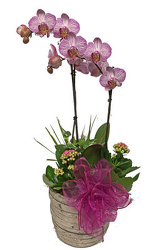 Orchid Plant from your local Clinton,TN florist, Knight's Flowers
