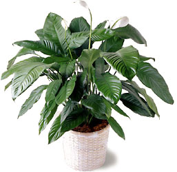 Peace_Lily_Plant from your local Clinton,TN florist, Knight's Flowers