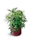 Schefflera Arboricola from your Clinton, TN florist