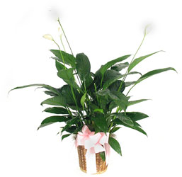 Peace Lily Plant from your local Clinton,TN florist, Knight's Flowers