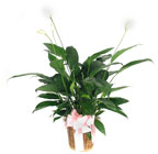 Peace Lily Plant from your Clinton, TN florist