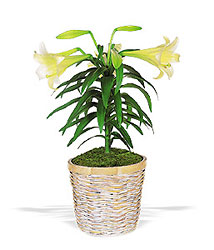 Easter Lily Plant from your local Clinton,TN florist, Knight's Flowers